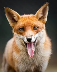 Vix Kirkpatrick - Horror Book Reviewer - What Does the Fluffy Red Fox Say?